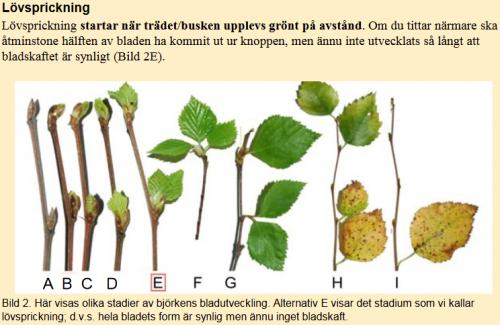 Lövsprickning
