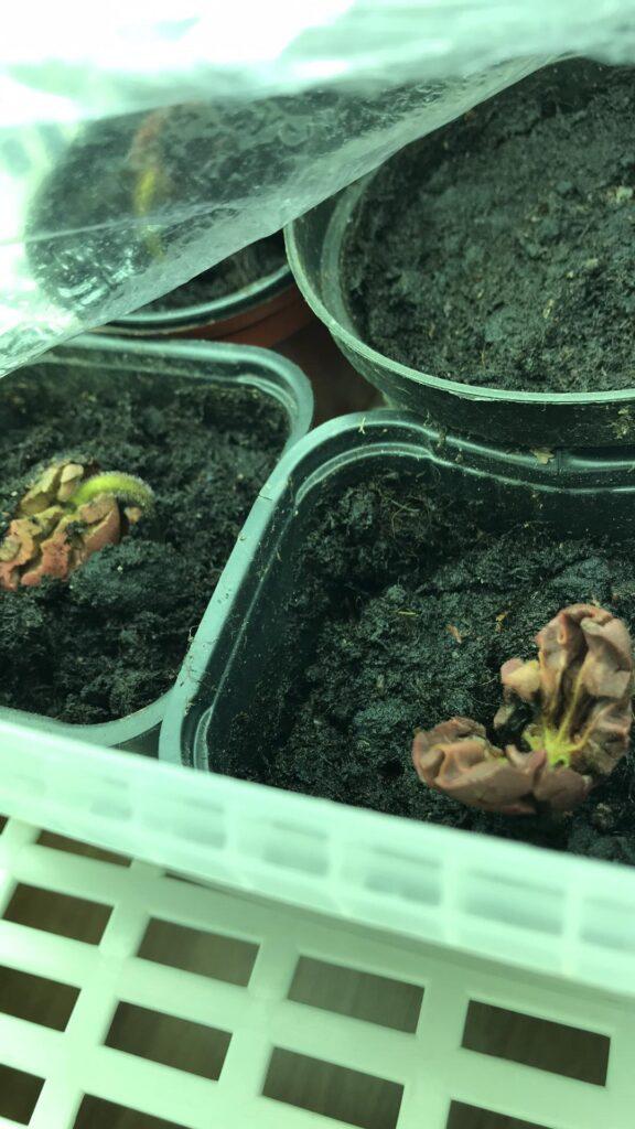 kakaoträdens födelse